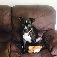 Adopt A Pet :: Domino - Columbia, MD