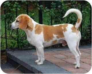 Beagle Dog for adoption in Palm Bay, Florida - E J