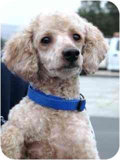 Poodle (Miniature) Dog for adoption in Vista, California - Archie