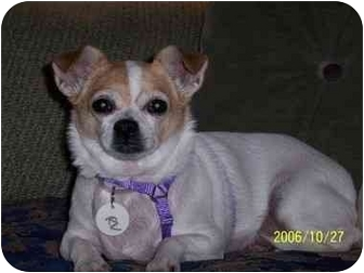 Chihuahua Mix Dog for adoption in Long Beach, New York - Sammi