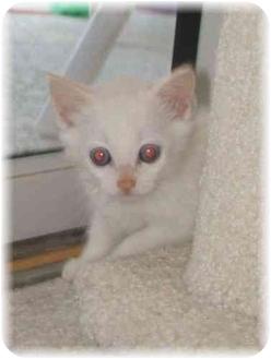 Siamese Kitten for adoption in Naples, Florida - Pandora