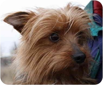 Yorkie, Yorkshire Terrier Mix Dog for adoption in Jerome, Idaho - 4482
