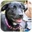 Photo 1 - Labrador Retriever/Golden Retriever Mix Puppy for adoption in Osseo, Minnesota - Pepper