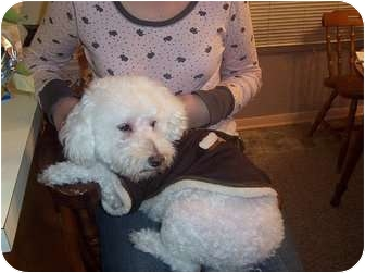 Bichon Frise Mix Dog for adoption in Hopkinsville, Kentucky - Snick