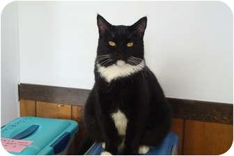 Domestic Shorthair Cat for adoption in Hamburg, New York - Missy
