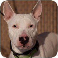 Bull Terrier Dog for adoption in Denver, Colorado - Stimpy