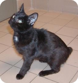 Domestic Shorthair Cat for adoption in Jackson, Michigan - Patches