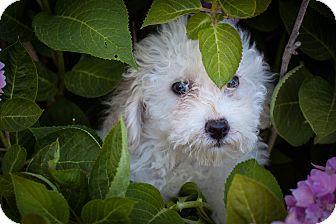 Poodle (Miniature) Puppy for adoption in Auburn, California - Hulk Hogan