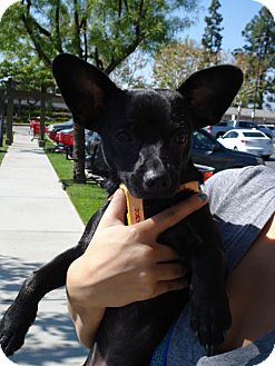 Chihuahua Mix Puppy for adoption in San Dimas, California - Corky