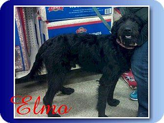 Giant Schnauzer Dog for adoption in Delaware, Ohio - Elmo