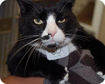 Domestic Shorthair Cat for adoption in Cumming, Georgia - Sup