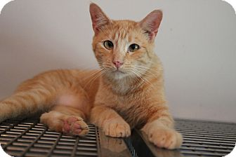 Domestic Shorthair Cat for adoption in Loogootee, Indiana - Curtis
