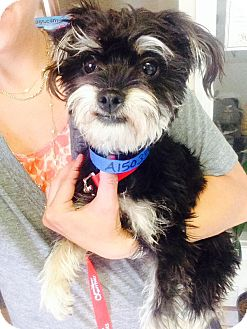 Terrier (Unknown Type, Small)/Yorkie, Yorkshire Terrier Mix Dog for adoption in Encino, California - Inkie