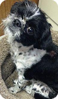 Shih Tzu Dog for adoption in Oswego, Illinois - Captain Jack Sparrow