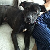Pit Bull Terrier Mix Dog for adoption in Rockaway, New Jersey - Sandra Dee