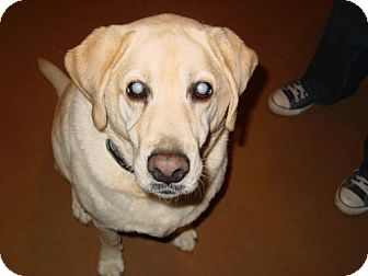 Labrador Retriever Mix Dog for adoption in Seahurst, Washington - Beethoven