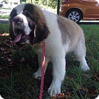 Adopt A Pet :: Chowder - Spring City, TN
