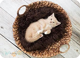 Domestic Shorthair Kitten for adoption in Sterling Heights, Michigan - Tony-ADOPTED