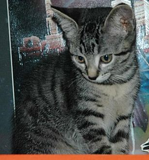 Domestic Shorthair Cat for adoption in Alvin, Texas - Cuddles