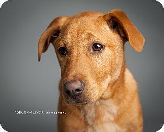 Labrador Retriever Mix Puppy for adoption in Rochester, New Hampshire - Sven