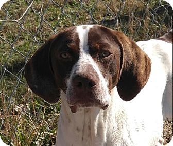 German Shorthaired Pointer Mix Puppy for adoption in Hagerstown, Maryland - Toby