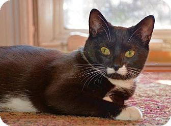 Domestic Shorthair Kitten for adoption in Richmond, Virginia - Mia