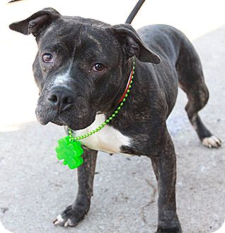 American Staffordshire Terrier Mix Dog for adoption in Kewanee, Illinois - Petunia