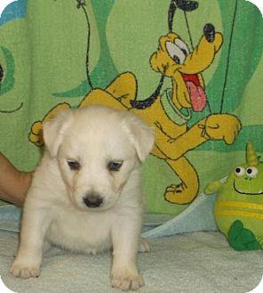 Labrador Retriever/Retriever (Unknown Type) Mix Puppy for adoption in Rapid City, South Dakota - Rose