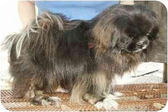 Pekingese Dog for adoption in Morriston, Florida - BUSTER