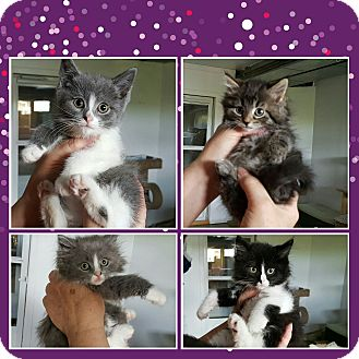 Domestic Shorthair Kitten for adoption in Irwin, Pennsylvania - Coming soon