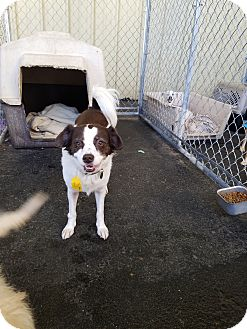 Spaniel (Unknown Type) Mix Dog for adoption in Gustine, California - MILLIE