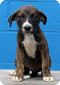Shepherd (Unknown Type) Mix Puppy for adoption in Waldorf, Maryland - Titan