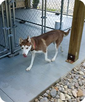 Husky Mix Dog for adoption in Fredericksburg, Virginia - Sierra