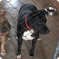 Pit Bull Terrier/Labrador Retriever Mix Dog for adoption in Broken Arrow, Oklahoma - Bella