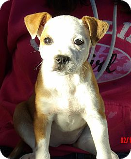 American Bulldog/Australian Shepherd Mix Puppy for adoption in Burlington, Vermont - Honor (8 lb)