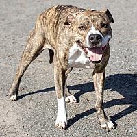 Adopt A Pet :: Capone - Lincoln, CA