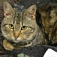 Domestic Shorthair Cat for adoption in Akron, Ohio - Snickerdoodle *Special Adoption Fee