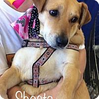 Adopt A Pet :: Shasta - Los Angeles, CA
