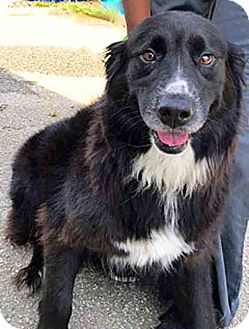 Flat-Coated Retriever/Golden Retriever Mix Dog for adoption in BIRMINGHAM, Alabama - Ellie