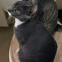 Adopt A Pet :: Softy - Lancaster, CA