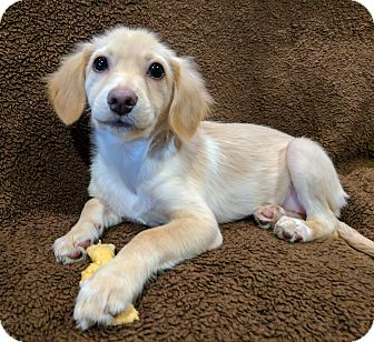 Chihuahua/Poodle (Miniature) Mix Puppy for adoption in Garland, Texas - Emma