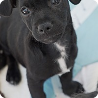 Adopt A Pet :: Blaze - Santa Monica, CA