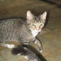 Adopt A Pet :: Tenshi - Hopkins, SC