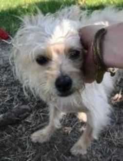 Terrier (Unknown Type, Small) Mix Dog for adoption in Lowell, Indiana - Louise formerly Mimi