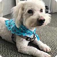 Adopt A Pet :: Snowball - Irvine, CA