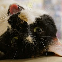 Adopt A Pet :: Mia - Salem, NH