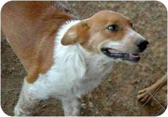 Collie Mix Puppy for adoption in Atkins, Arkansas - GEM
