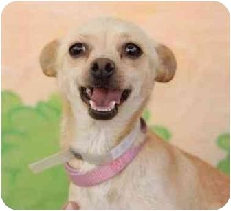 Chihuahua Mix Dog for adoption in Encino, California - Traci