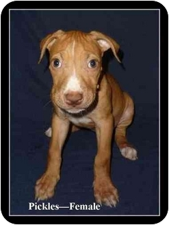 American Pit Bull Terrier Mix Puppy for adoption in Gilbert, Arizona - Pickles