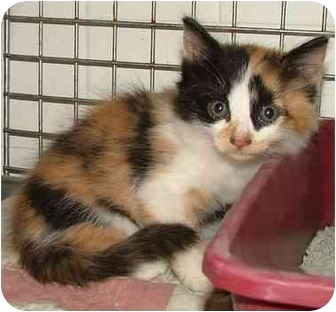 Maine Coon Kitten for adoption in Dallas, Texas - Papaya